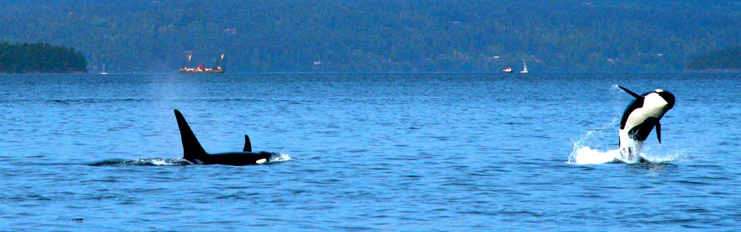 Orca BC Gulf Islands Tours