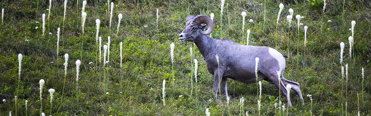 Bighorn Sheep - Backroads Glacier & Waterton Lakes Walking & Hiking Tour