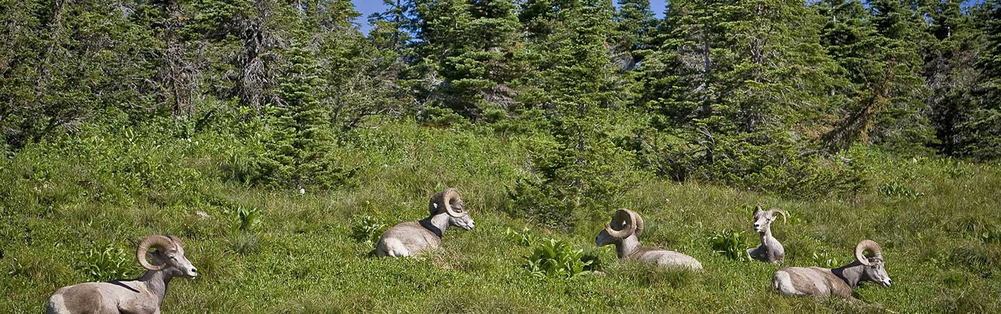 Big Horn Sheep - Glacier & Waterton Lakes Family Multi-Adventure Camping Tour
