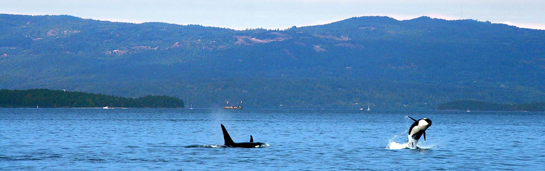 Orcas on San Juan Islands Family Breakaway Multisport Adventure Tour