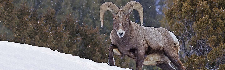 Wildlife in :Yellowstone National Park, Wyoming