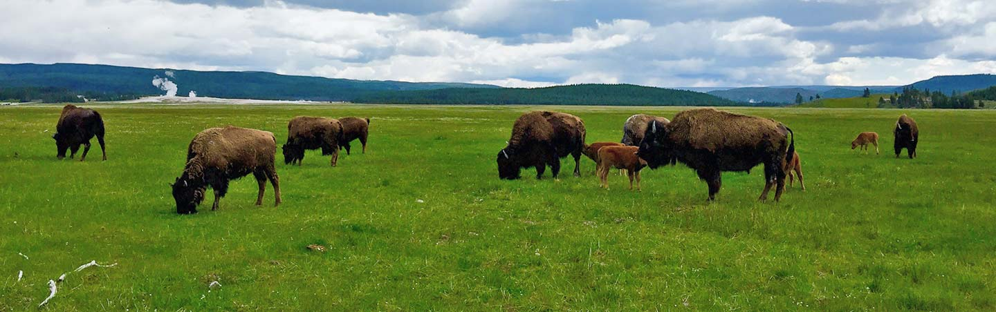 Buffalo on Backroads Yellowstone and Grand Teton Family Bike Tour