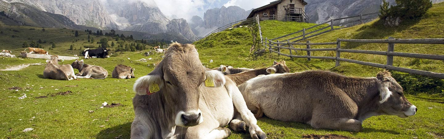 Cows in the Dolomites of Italy, Backroads