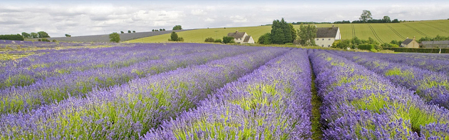 Lavender Field - England Walking & Hiking Tour