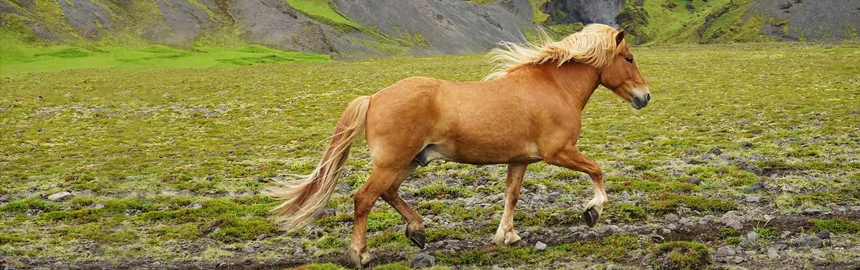 Icelandic Horse - Iceland Walking & Hiking Tours