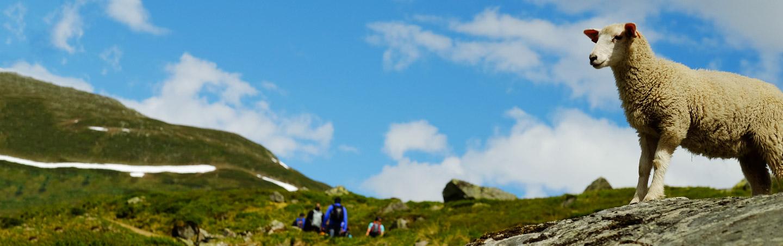 Sheep in Norway, Backroads Walking Tour