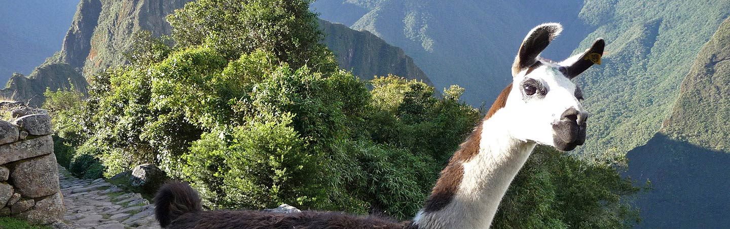 Alpaca in Peru - Backroads Family Walking & Hiking Tour
