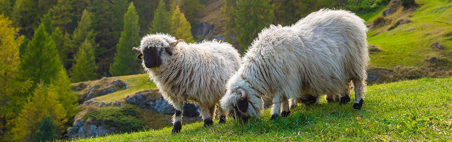 Valais blacknose sheep on Backroads Switzerland Family Walking & Hiking Tour