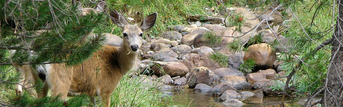 Deer in Yosemite National Park - Backroads Walking & Hiking Tour