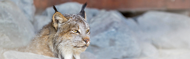 Bobcat on Alaska's Kenai Peninsula Family Multisport Adventure Tour