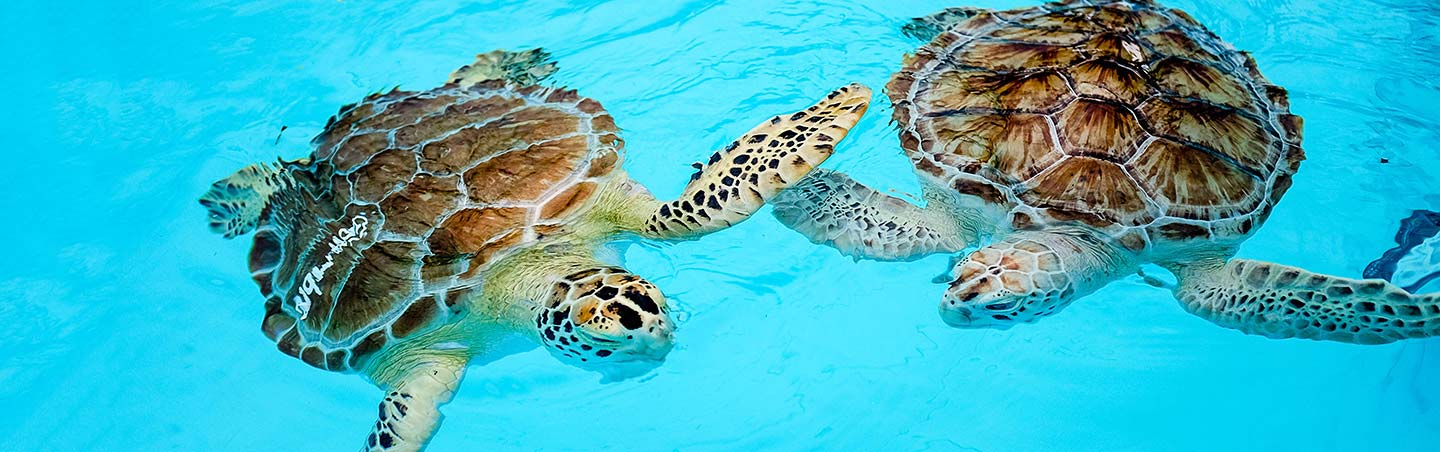Sea turtles - Backroads Everglades to Keywest Multisport Adventure Tour