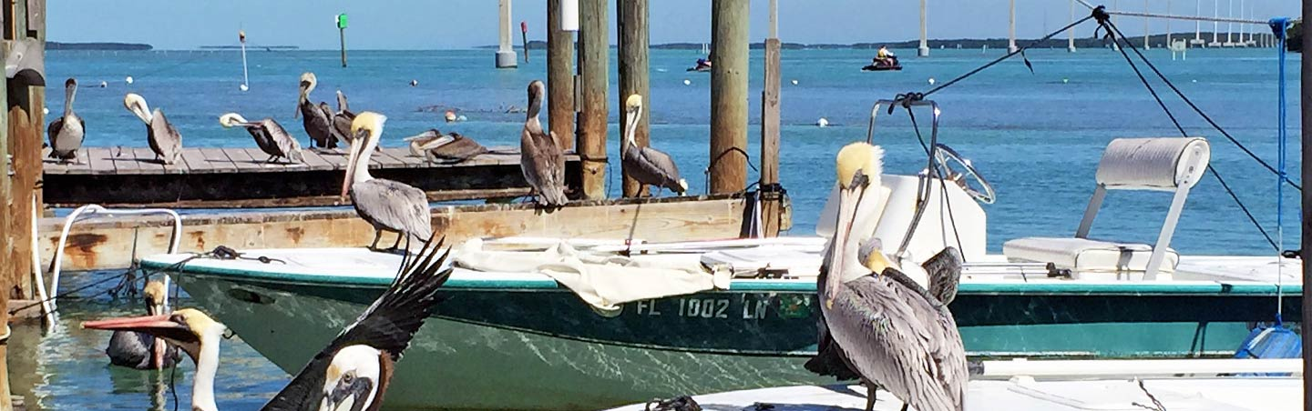 Pelicans on a dock - Backroads Everglades to  Key West Multisport Tour