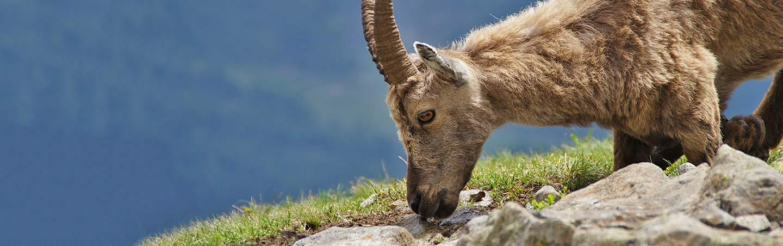 Mountain Goat - Backroads French & Italian Alps Walking & Hiking Tour