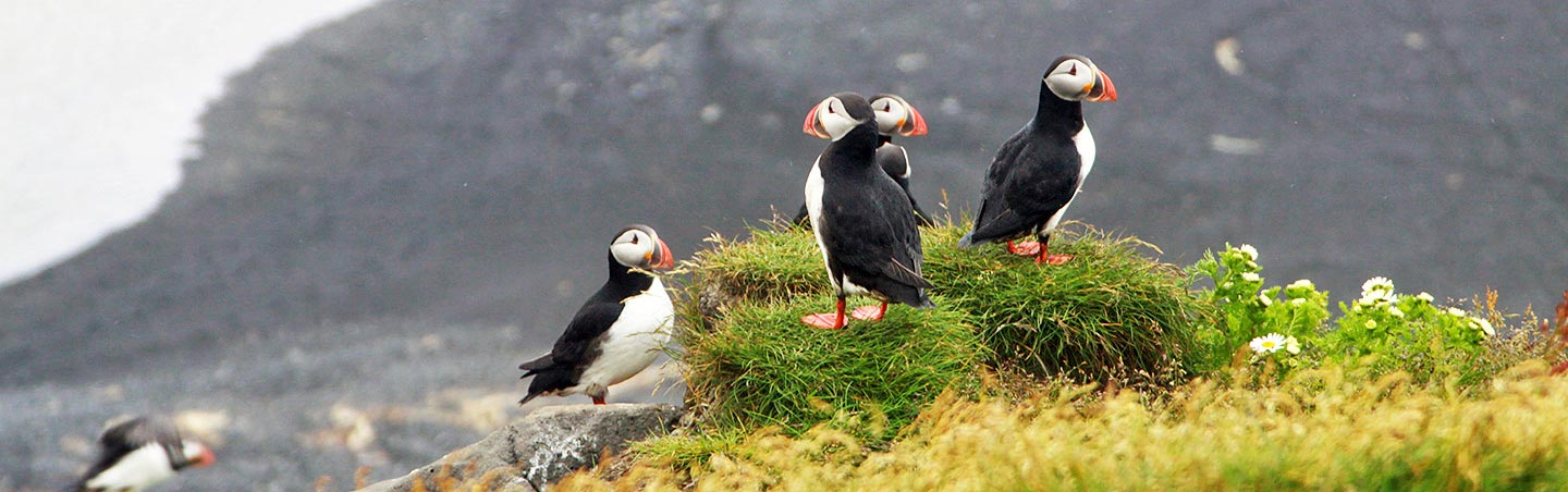 Puffins Backroads Iceland Ocean Cruise Tour