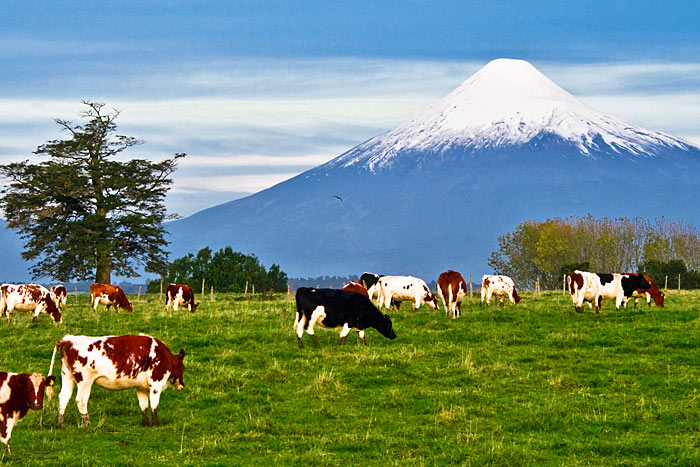 Cows, Chile's Volcano District