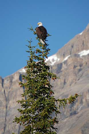 Bald Eagle, Canadian Rockies
