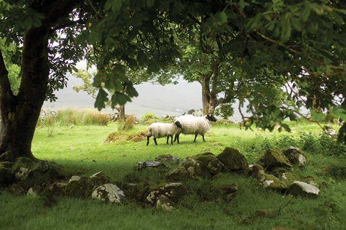 Sheep on Backroads Ireland  Family Breakaway Bike Tour