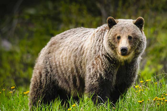 Alaskan Grizzly Bears - Backroads Prince William Sound to Denali Multi-Adventure Tour
