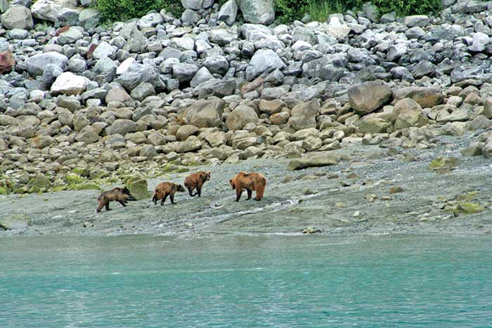 Grizzly Bears - Backroads Prince William Sound to Denali Family Multisport Tour