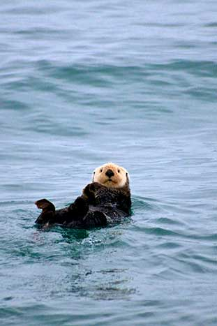 Sea Otter - Backroads Alaska's Kenai Peninsula Family Breakaway Multisport Adventure Tour