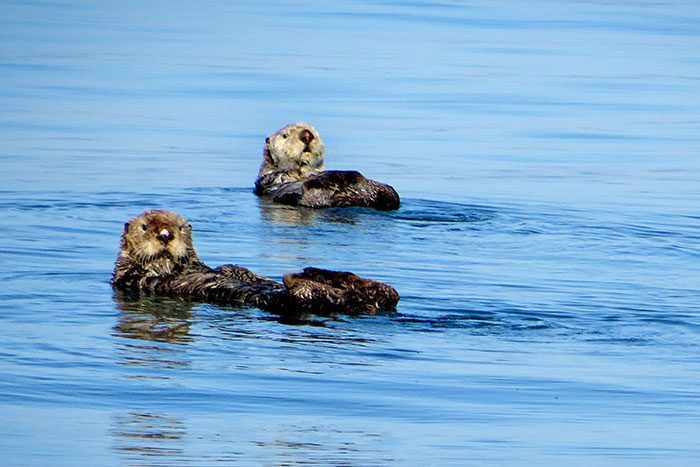 Sea Otters - Backroads Alaska Multi-Adventure Tour
