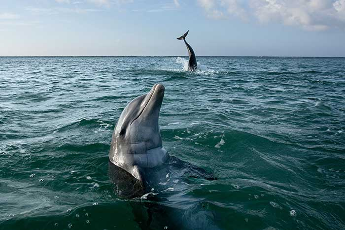 Dolphins in the Caribbean