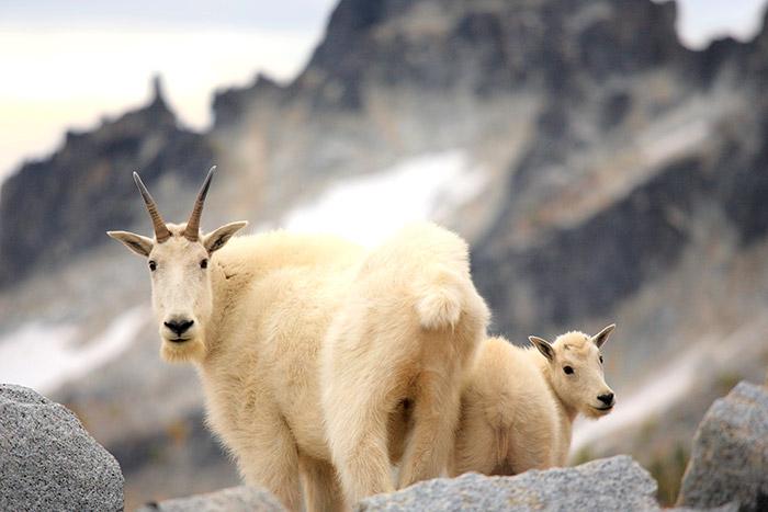 Mountain Goats- Canadian Rockies