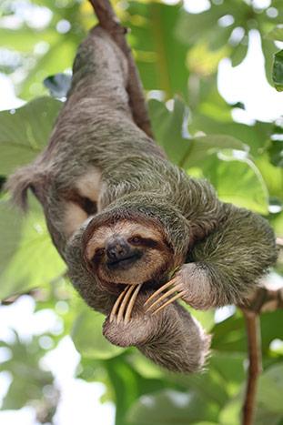 Sloth- Backroads Costa Rica Family Breakaway Multisport Adventure Tour