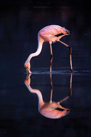 Flamingo, Ecuador