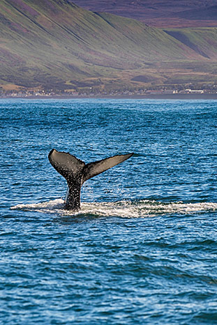 Whale watching - Iceland Ocean Cruise Multi-Adventure Tour