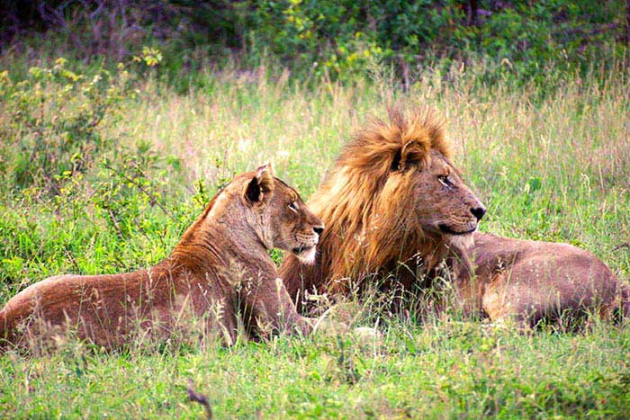 Lions - South Africa & Botswana Safari Multi-Adventure Tour