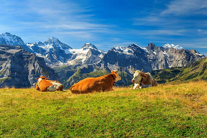 Cows- Backroads Switzerland Family Breakaway Multisport Adventure Tour