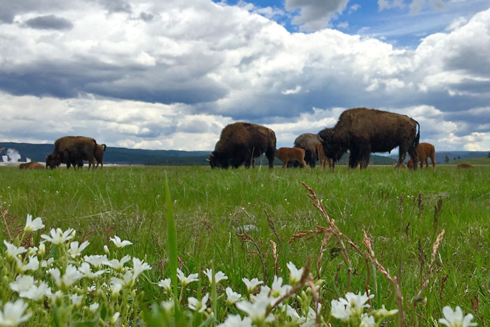 Bison - Yellowstone, Tetons & Bozeman Family Multi-Adventure Tour
