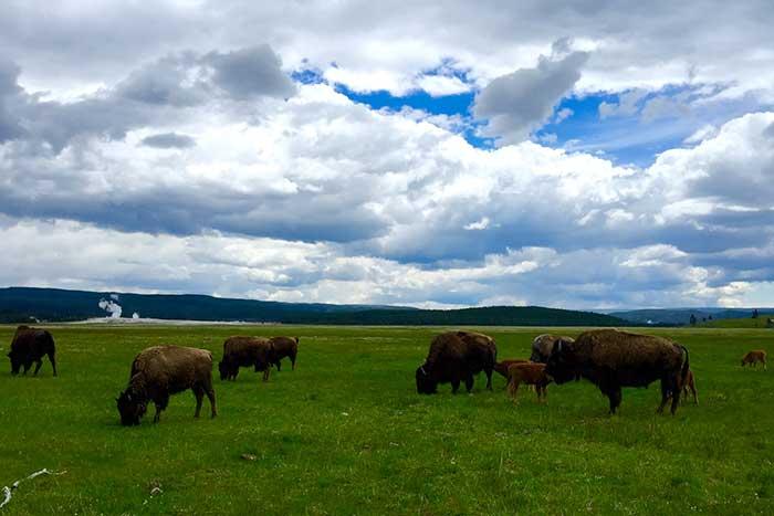 Bison, Backroads Yellowstone & Tetons Multisport Adventure Tour