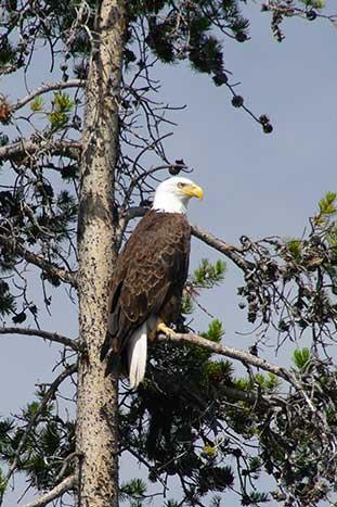 Bald eagle - Yellowstone & Tetons Multisport Adventure Tour