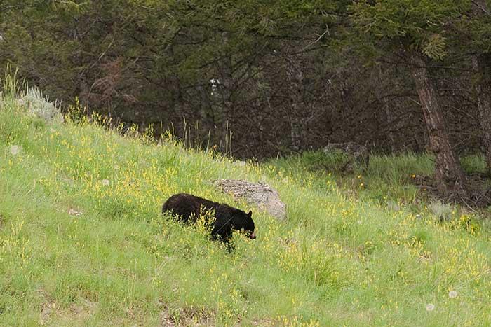 Bison, Yellowstone & Tetons Wildlife Safari Multisport Adventure Tour