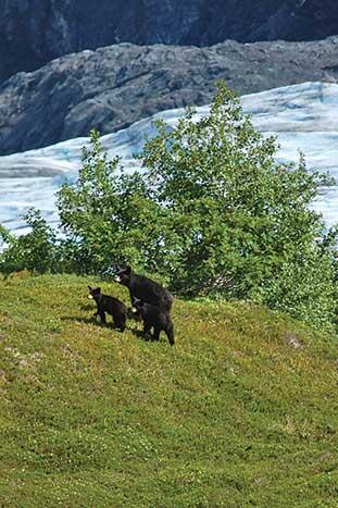 Black Bears, Alaska