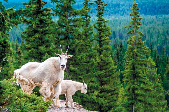 Mountain Goats, Canadian Rockies