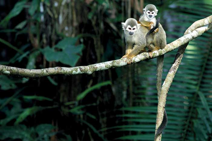 Monkey - Galapagos, Andes and Amazon River Cruise Walking Tour
