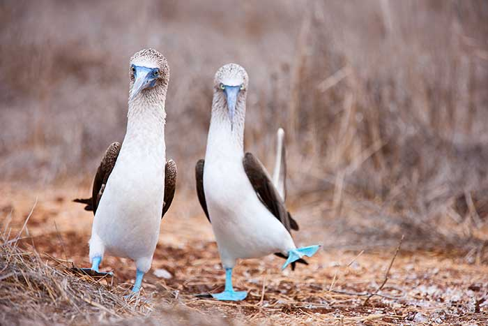 Blue Footed Boobies - Galápagos, Andes & Amazon River Cruise Family Walking & Hiking Tour - Older Teens & 20s