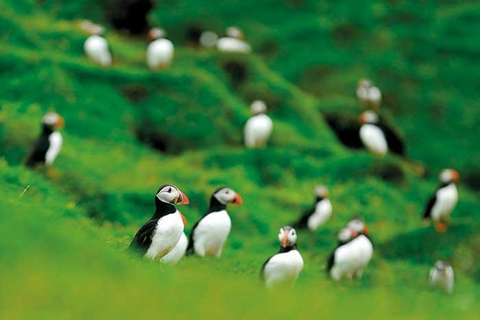 Puffins - Iceland Walking & Hiking Tours