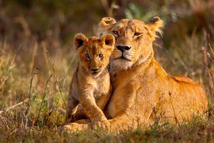 Lions - Namibia & Zimbabwe Safari Walking Tour