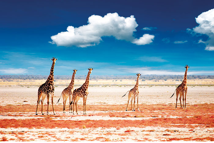 Giraffes - Namibia & Zimbabwe Safari Walking Tour