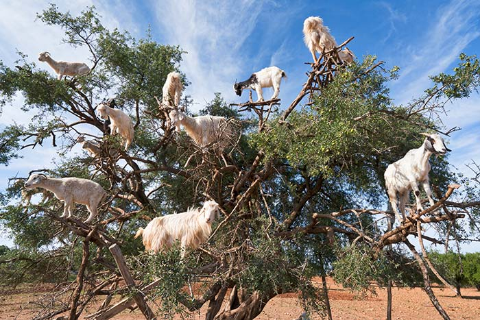 Goats in trees - Backroads Morocco walking & hiking tour