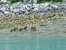 Bears - Backroads Prince William Sound to Denali Multi-Adventure Tour