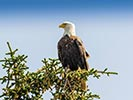 Eagle - Backroads Prince William Sound to Denali Multi-Adventure Tour