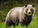 Grizzly Bear - Backroads Prince William Sound to Denali Family Adventure Tour