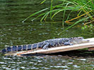 Alligator - Backroads Charleston to Savannah Multi-Adventure Tour