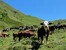 Cow - French & Italian Alps Family Walking & Hiking Tour