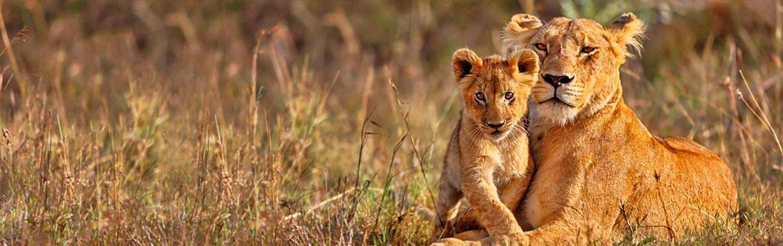 Lion - Backroads Namibia & Zimbabwe Family Safari Walking Tour